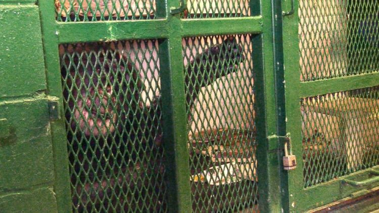 Tommy the Chimp - Photo by Pennebaker Hegedus Films, from 'Unlocking The Cage'