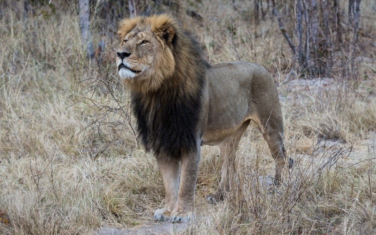 Cecil the lion - Photo by Vince O'Sullivan (Creative Commons 2.0)